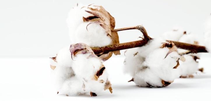 Cotton plants. Photo credit: Marianne Krohn via Unsplash.com.