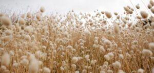 A field of cotton. Photo copyright Amber Martin via unsplash.com.